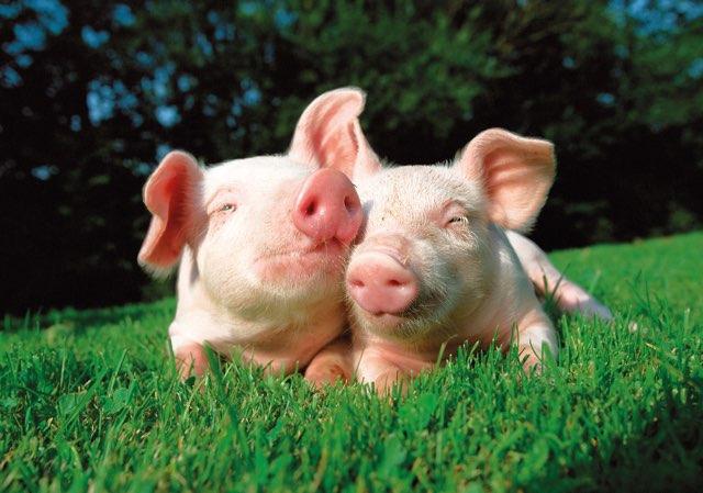proizvodi svinje