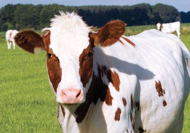 proizvodi goveda
